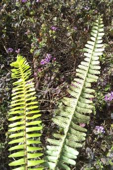 蕨类植物图片