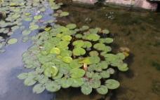 绿色浮萍图片