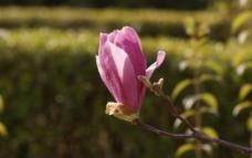 紫玉兰花高清摄影图片