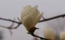 白玉兰花高清摄影图片