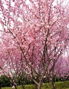 樱花树图片