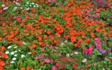 鲜花铺满地图片