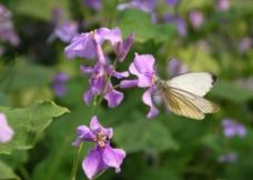 二月兰与蝴蝶图片