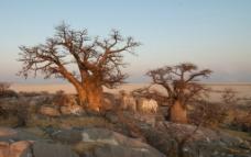 猴面包树图片