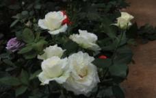 白色玫瑰花图片