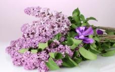 紫色丁香花图片