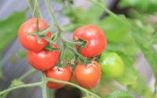 西红柿摄影图图片