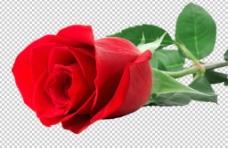 玫瑰花透明背景高清素材圖片