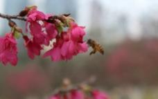 樱花蜜蜂图片