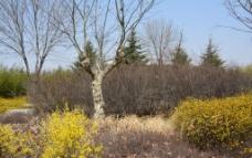 连翘树干春图片