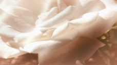 白玫瑰视频素材