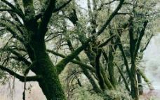 长满苔藓的树图片
