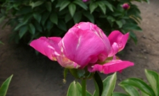 芍药花图片