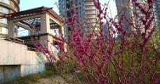 紫金花图片