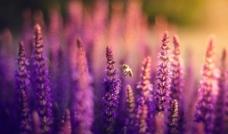 紫花朵圖片
