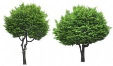 高清景观树-丝柏