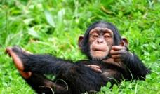 小猩猩图片