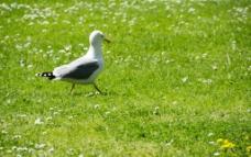 绿色草坪上的一只海鸥图片