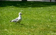 草地上散步的海鸥图片