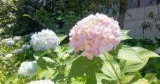 紫阳花图片