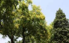 栾树花图片