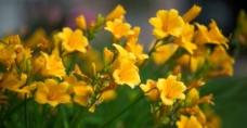 黄色喇叭花图片