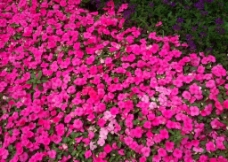 粉色鲜花丛图片
