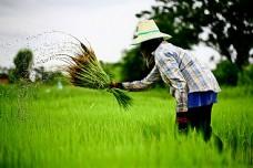 稻田中的农民