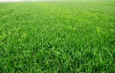 小麦田图片