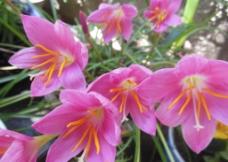 韭兰花图片