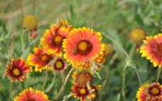 太陽菊圖片
