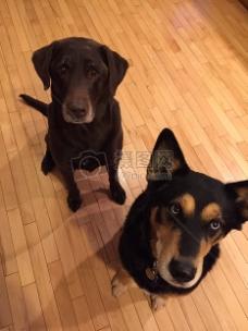 狗, 最好的朋友, 可爱, 宠物, 小狗, 纯繁, 可爱的, 检索器