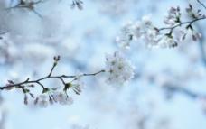 綻放的櫻花圖片