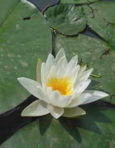 睡莲花图片