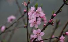桃花三两枝图片
