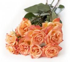 白色背景上的玫瑰花