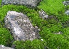葫芦藓图片