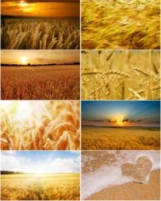 金色的麦田背景