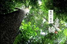 金丝楠木金丝楠木树