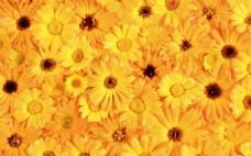金黄色花朵背景大图