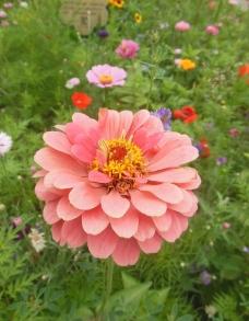六月菊图片