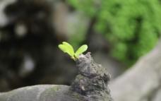 叶芽儿图片