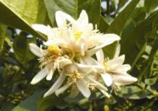 柠檬花图片