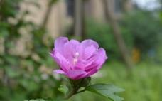 紫色花圖片
