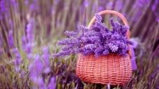 紫色薰衣草背景