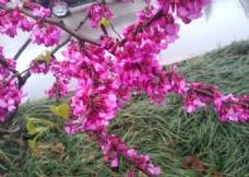 粉色鮮花樹圖片