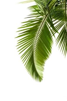 棕树树叶图片