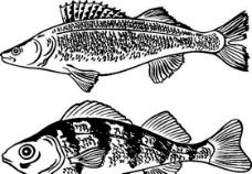 俄国矢量素材 矢量动物 鱼 ai格式007
