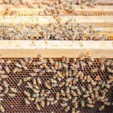 养殖的蜜蜂