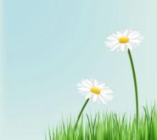 美丽白色菊花素材草地菊花背景图片